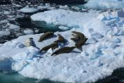 Krabbeneter Antarctica