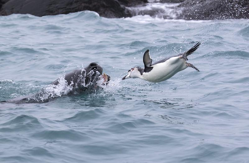 Zeeluipaard met kinbandpinguïn © Gregory