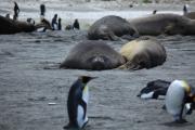Zuidelijke zeeolifanten omringd door koningspinguïns