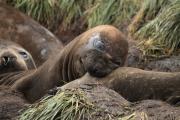 Zuidelijke zeeolifant bijt de buurvrouw