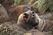 Mooie opname van een vrouwelijke zuidelijke zeeolifant