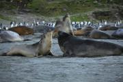 Zuidelijke zeeolifanten vechten op het strand