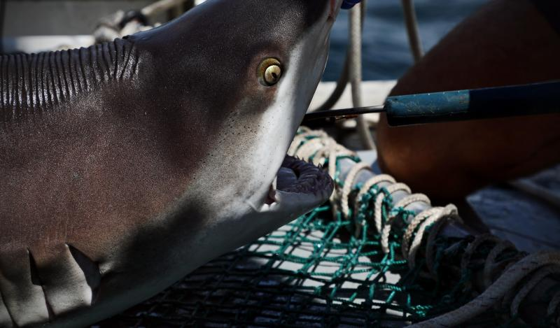 Haaien wegen en opmeten © Virginia Sea Grant | Flickr